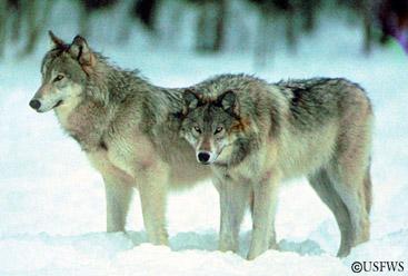Gray wolves a. Photo courtesy USFWS.